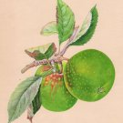 Indian Green Apple Fruit Art Handmade Wild Plant Nature Mogul Miniature Painting