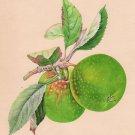Indian Green Apple Fruit Art Handmade Wild Plant Nature Mogul Miniature Painting