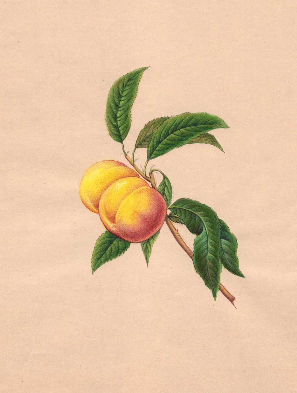 Indian Nectarine Fruit Painting Handmade Wild Plant Nature Mogul Miniature Art