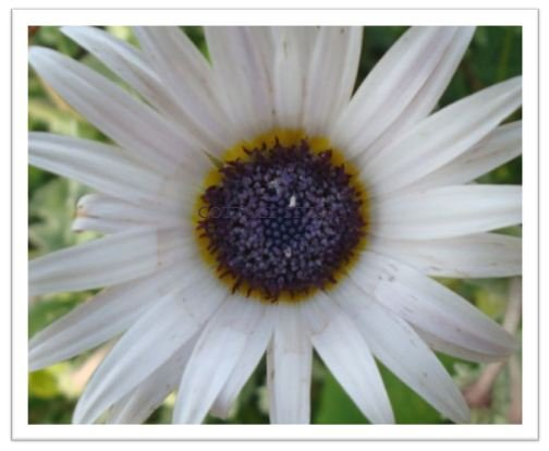 Blue-Eyed Daisy Seeds