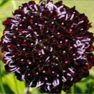 Chat Noir Scabiosa Seeds
