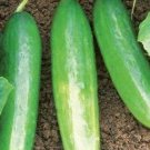 Muncher Cucumber Seeds