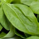 Lombardia Spinach Seeds (hybrid) ~ Grow Your Own at Home!!