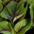 Red Leaf Amaranth Seeds