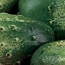 Sumter Cucumber Seeds