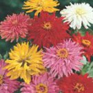 Giant Cactus Flowered Mixed Zinnia Seeds