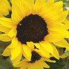 Ebony & Gold Sunflower Seeds