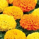 Crackerjack Mix Marigold Seeds