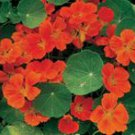 Dwarf Cherry Rose Nasturtium Seeds