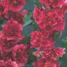 Summer Carnival Rosy Red Hollyhock