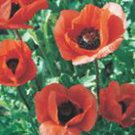 Oriental Poppy Orange Scarlet Seeds