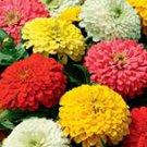 Giants Double Mixed Zinnia Seeds