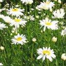 Shasta Daisy Seeds