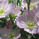 Mexican Evening Primrose Seeds