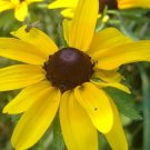 Black-Eyed Susan Rudbeckia Seeds