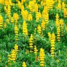 Golden Lupine Seeds