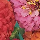 California Giants Mix Zinnia Seeds