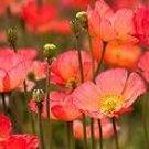 Red California Poppy Seeds