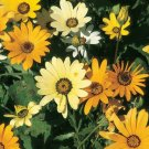 African Daisy Mix Seeds