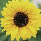 Dwarf Sunspot Sunflower Seeds