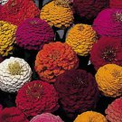 Lilliput Mix Zinnia Seeds