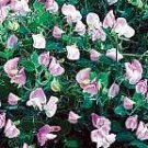Cupid Pink Sweet Pea Seeds