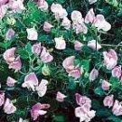 Cupid Pink Sweet Pea Seeds