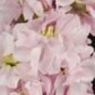 Column Sweetheart Pink Stock Seeds