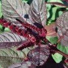 Hopi Red Dye Amaranth Seeds