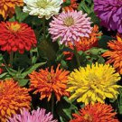 Burpeeana Giants Mix Zinnia Seeds