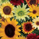 Summer Cutting Garden Sunflower Mix Seeds
