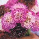 Giant Imperial Scabiosa Seeds