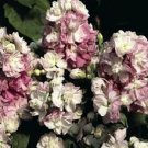 Appleblossom Stock Seeds