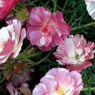 Poppy, APPLEBLOSSOM CHIFFON Poppy Seeds ~ Pretty Cottage Garden Flowers!