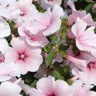 Lavatera, Pink Blush Lavatera Seeds - Bee Magnet!