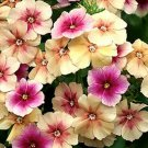 Phlox, CHERRY CARAMEL Phlox Seeds