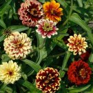 Zinnia, Jazzy Mix Zinnia  Seeds