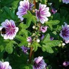 Malva Hollyhock, Striped Hollyhock Seeds