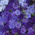 Phlox, Moody Blues Phlox Seeds