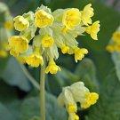 Primrose, Cowslip Primrose Seeds