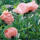 Poppy, Princess Victoria Louise Poppy Seeds