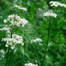 Valerian, Garden Heliotrope Seeds