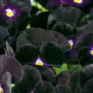 Viola, Bowles Black  Viola Seeds