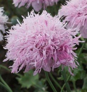 Poppy, Lilac Pom Pom Poppy Seeds