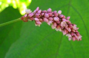 Pink Tassels Seeds