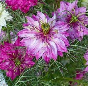 Nigella, Persian Red Nigella Seeds