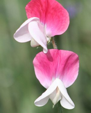 Sweet Pea, Painted Lady Sweet Pea Seeds