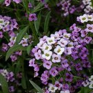 Alyssum, Paletta & Bright White Mixed Alyssum Seeds