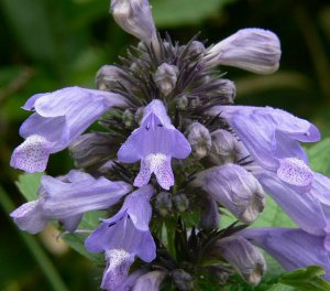 Catmint, Grand View Catmint