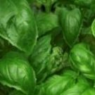 Basil, Organic California Basil Mix